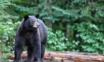 A Bear Catches a Woman in the Forest. Then It Makes a Fatal Mistake