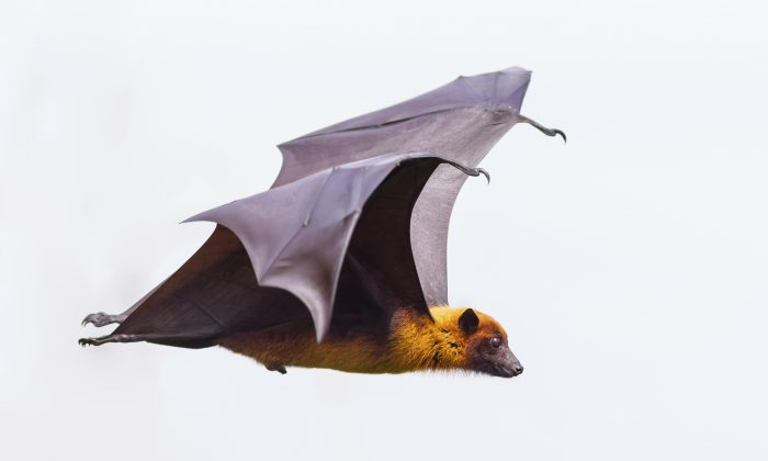 Scientists discovered an array of sensory touch receptors in bat wings—a significant number of which are clustered at the base of tiny hairs that cover the appendages.  (kajornyot/iStock)