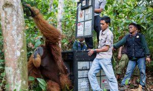 Orangutan Rescued Amid Sea of Palm Oil