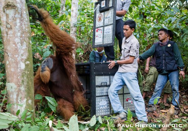 A large male Sumatran orangutan is released, some 50 kilometers from where he was rescued in the Leuser Ecosystem. Photo: Paul Hilton for OIC.