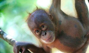 30 Illegal Orangutan Pets Seized in Indonesia