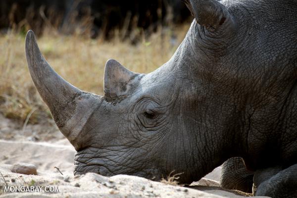 White rhino in Kruger National Park. Photo by: Rhett A. Butler.