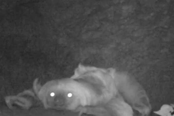Sloth on all fours seeking salt. Photo courtesy of camera trap video compilation from Tiputini Biodiversity Station.