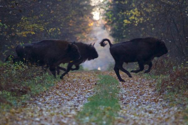 European bison running across a trail in Białowieża Forest. Photo by: Lukasz Mazurek/Wild Poland.