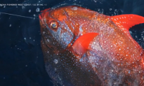 Meet the Opah, the First Known Warm-Blooded Fish (Video)