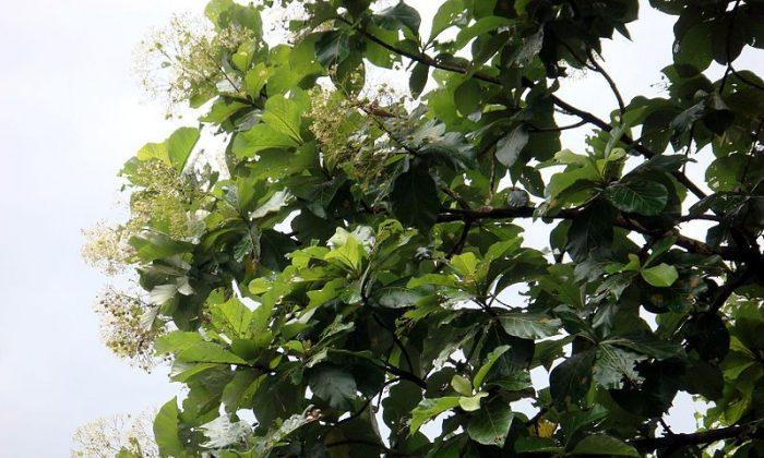 A teak tree in flower. Photo by: Challiyan.