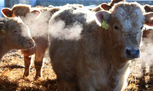 Hormones for Cattle Stick Around in Streams