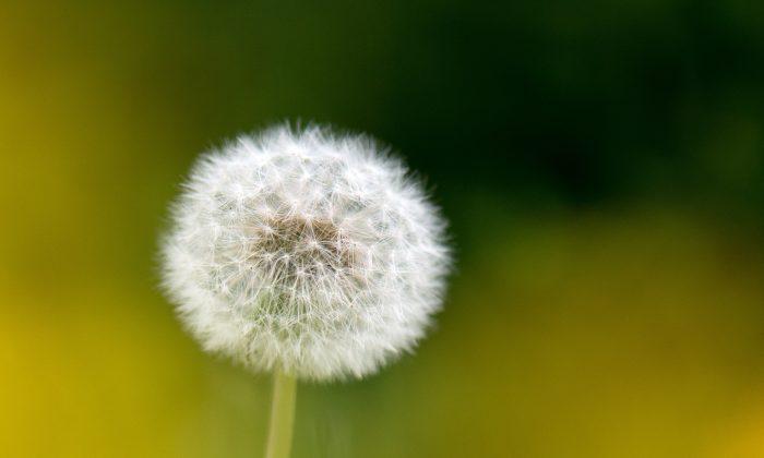 A dandelion. (Arno Burgi/AFP/Getty Images)