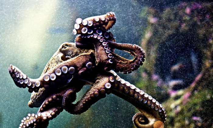 A stock photo of an octopus. (Feans/Flickr, CC BY 2.0)