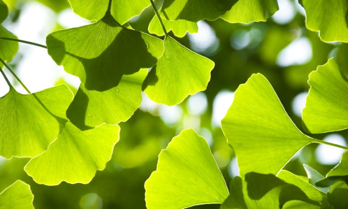 No other plant alive today has a leaf like a ginkgo tree. (toto8888/iStock)