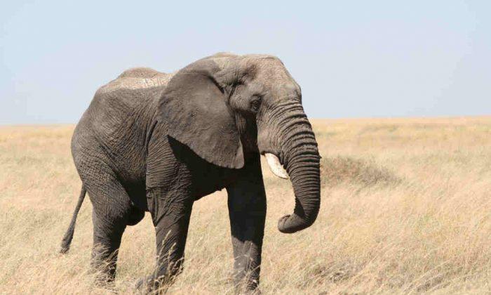 Elephant in Africa. (guido da rozze/Flickr, CC BY 2.0)