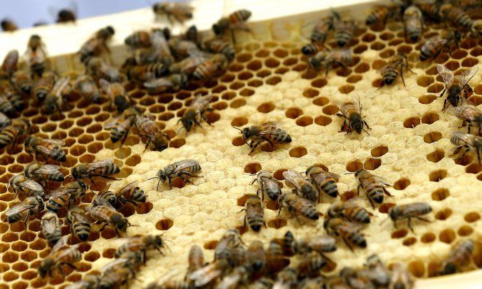 Susan Kennedy Spain's bees in her backyard in Richmond, Va., Tuesday, May 19, 2015. (Mark Gormus/Richmond Times-Dispatch via AP)