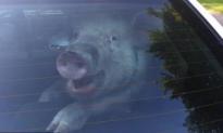 Captured Pig Caught Smiling in Police Patrol Car (Video)