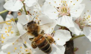 Wild Bees Are Dying Because of Pesticides on Orchards, Scientists Find