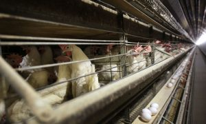 US to Import Egg Products From Netherlands to Ease Shortage