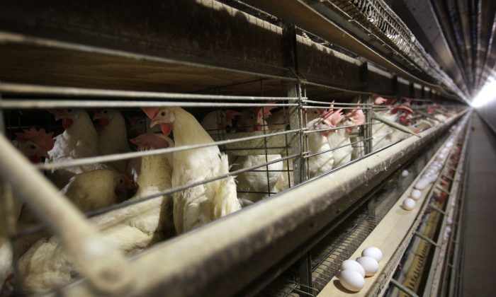 Chickens are in cages at a farm near Stuart, Iowa, in this file photo.  (AP Photo/Charlie Neibergall)