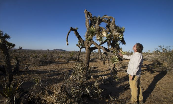 In this Wednesday, June 3, 2015, photo, U.C. Riverside ecologist Cameron Barrows inspects the dead, angular branches and drooping fronds of a drought-stricken Joshua Tree in the lower elevations, just outside the northwest corner of Joshua Tree National Park in California. (Allen J. Schaben/Los Angeles Times via AP)