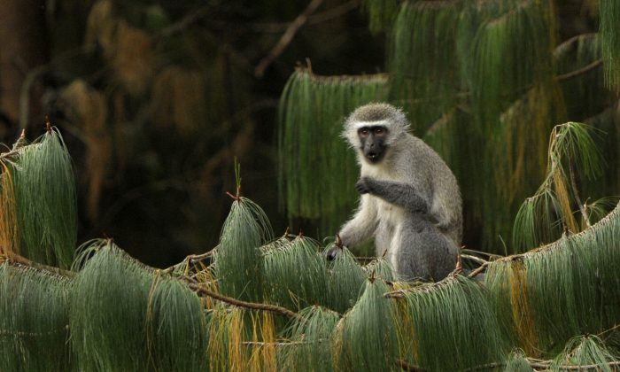 A female vervet monkey eats while seated on a pine branch in Balgowan, Paraguay, on June 27, 2010, in this file photo. Vervet monkeys living on the Caribbean island of St. Kitts are infamous for stealing tourists' cocktails. (JUAN MABROMATA/AFP/Getty Images)