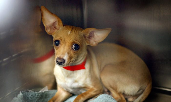 A Chihuahua awaits adoption at a Los Angeles Department of Animal Services shelter on Dec. 15, 2009, in Los Angeles. (David McNew/Getty Images)