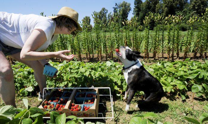 Berry fields at the organic farm, Helsing Junction Farm near Rochester, Wash., on  Sunday, June 7, 2015. (Steve Bloom/The Olympian via AP)