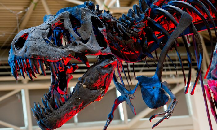 The skeleton of an adult Tyrannosaurus rex is illuminated as it is on display during 'The Munich Show' exhibition for gems, jewellery, minerals and fossils on October 24, 2014 in Munich, southern Germany. ( SVEN HOPPE/AFP/Getty Images)