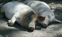 Pigs Exhibit Smarts Similar to Chimps, Dolphins, Dogs (Video)