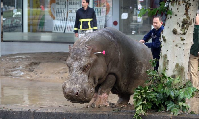 People follow a hippopotamus that has been shot with a tranquilizer dart after it escaped from a flooded zoo in Tbilisi, Georgia, Sunday, June 14, 2015. (AP Photo/Beso Gulashvili)