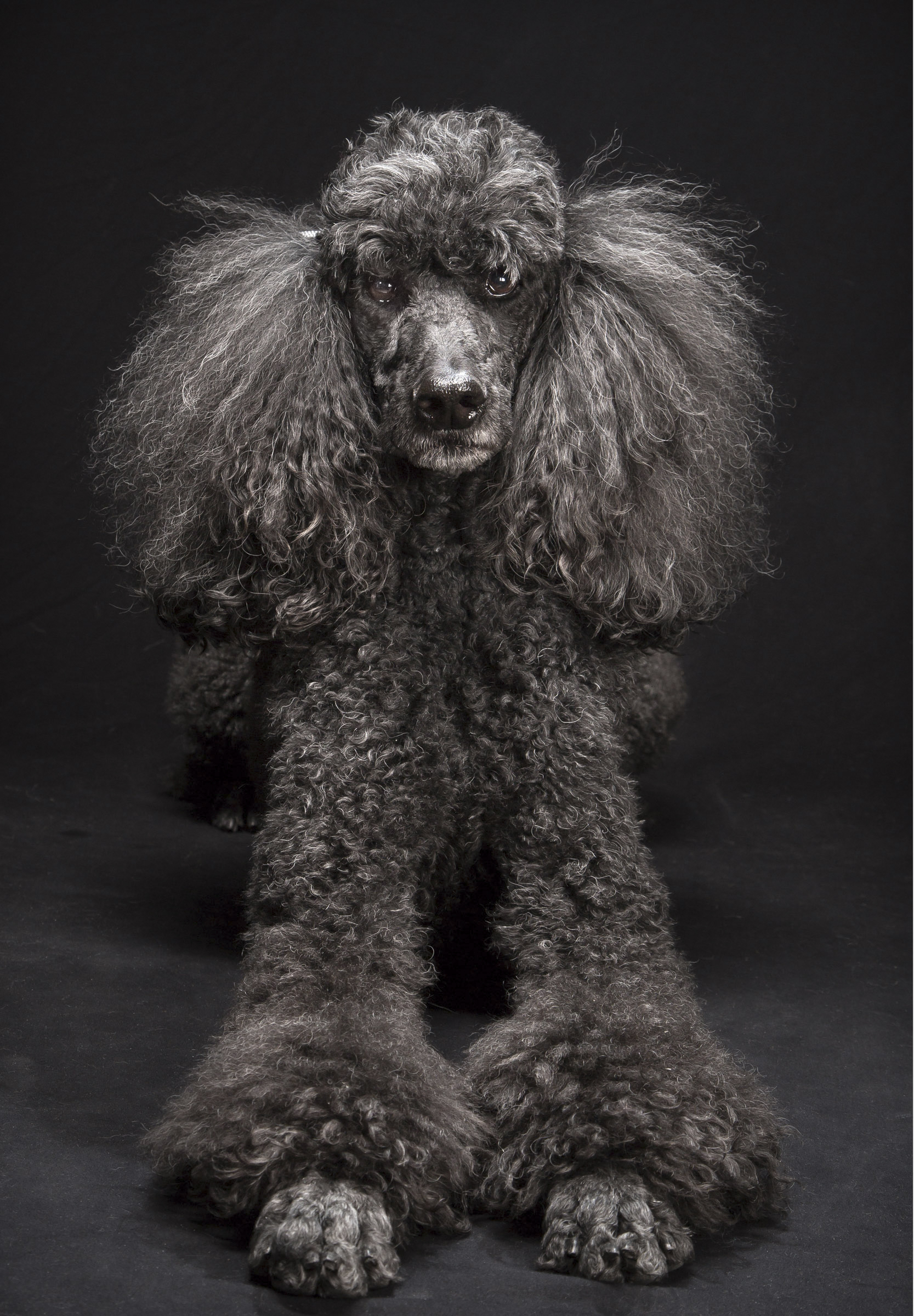 Labradoodle Breed Creator Says He Created Frankensteins