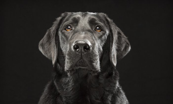 In this Oct. 2013 photo provided by Fred Levy, a black Labrador retriever named Denver poses in Levy's studio in Maynard, Mass. (Fred Levy via AP)
