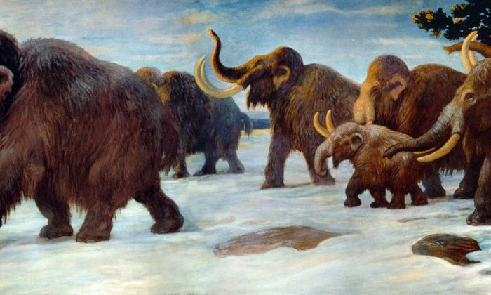 "The painting ""Wooly Mammoths Near the Somme River."" Were there to be a Pleistocene Park, it might feature wooly mammoths. (AMNH Mural/Charles R. Knight via Wikimedia Commons)"