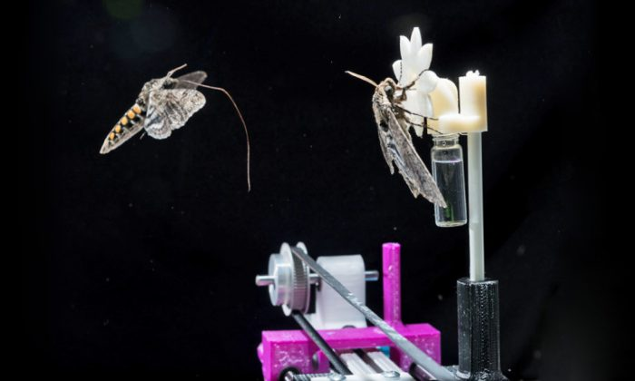 A hawkmoth with its proboscis extended approaches a robotic flower on which another hawkmoth has already landed. (Rob Felt/Georgia Tech)