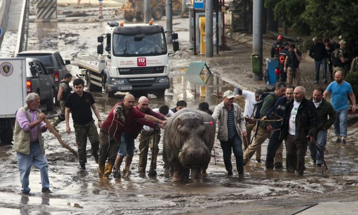 People assisting a hippopotamus that has been shot with a tranquilizer dart after it escaped from a flooded zoo in Tbilisi, Georgia, Sunday, June 14, 2015. Tigers, lions, a hippopotamus and other animals have escaped from the zoo in Georgia's capital after heavy flooding destroyed their enclosures. (AP/Tinatin Kiguradze)