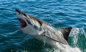California Lifeguard Drone Finds a Dozen Great White Sharks Near Shore (Video)