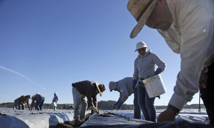 In this Nov. 19, 2014, file photo, workers plant strawberries in Watsonville, Calif.California's historic drought is also sparking a flurry of finger-pointing and blaming. (AP Photo/Marcio Jose Sanchez, File)
