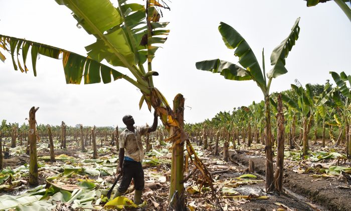 A farmer checks on July 15, 2014 damage on a banana plantation outside the Ivorian town of Dabou, 60 kms west of Abidjan. (Issouf Sanogo/AFP/Getty Images)