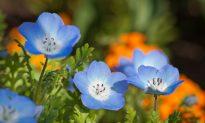 Dry Winters Threaten California Wildflowers