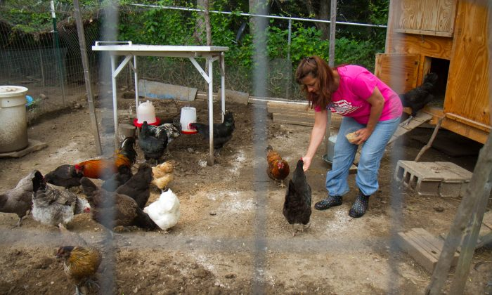 Cheryl Blaese feeds her chickens Cherios in their pen on June 23, 2015 in Cuddebackville, New York. (Holly Kellum/Epoch Times)