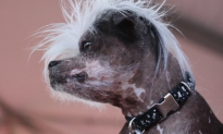 World's Ugliest Dog Competition Crowns a Winner (Video)
