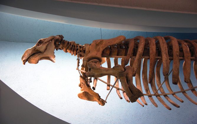 A Steller sea cow skeleton: extinct in 1768. (Tim Evanson/flickr, CC BY-SA)