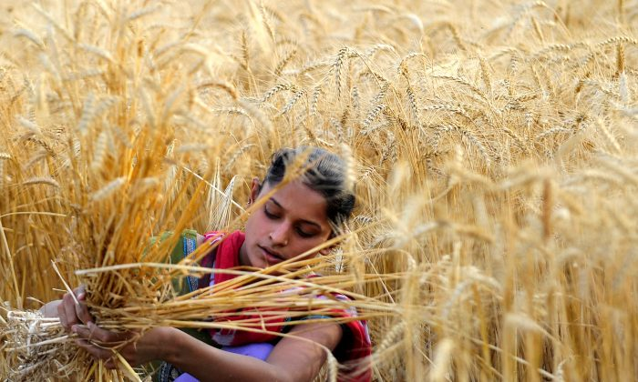 An Indian farmer harvests wheat at a field near Allahabad on April 8, 2013. (Sanjay Kanojia/AFP/Getty Images)