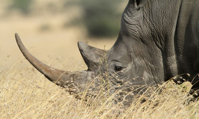 Will synthetic rhino horns decrease demand or aid law enforcement? (Valentina Storti/CC BY-NC 2.0)
