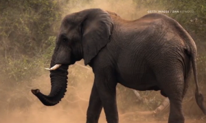 Scientists Resurrect Mammoth Gene to See How They Differed From Elephants (Video)
