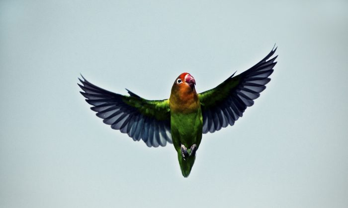 """""""Basically, if lovebirds could spin their head a full 360 degrees, they could do it so fast that it would go unnoted by a blinking human,"""" says Daniel Kress. (Pieter-Pieter/iStock)"""