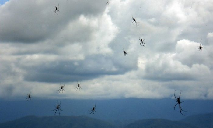 April 6, 2007, a rain of spiders falls from the sky in Salta Province, Argentina. (Christian Oneto Gaona/The Epoch Times)