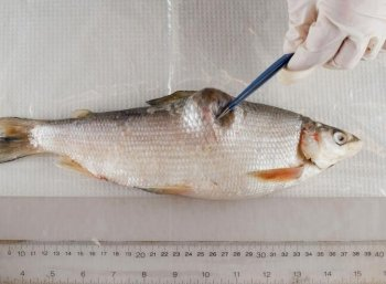 A deformed whitefish from Lake Athabasca, collected by Ray Ladouceur in December 2009. (John Ulan/EPIC Photography)