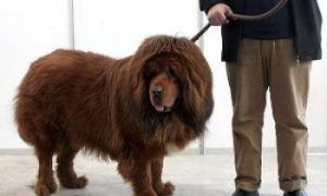 Mauled by Tibetan Mastiffs, Man Goes Into Hiding
