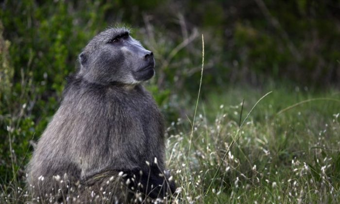 A male baboon watches his troop in Capetown, South Africa. (Paula Bronstein /Getty Images)
