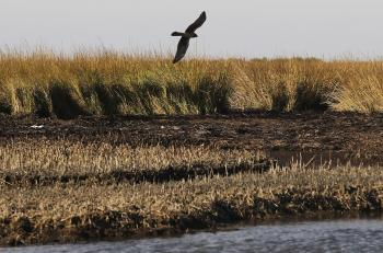 A hawk flies over marsh grasses battered by oil from the BP oil spill December 5, in Barataria Bay, Louisiana. Nearly eight months after the spill, oil remains along the shoreline of some of the barrier islands in the area and has killed off sections of marsh grass. (Mario Tama/Getty Images)