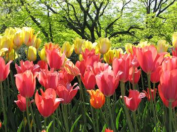The Tulip: A Spring Blossom's Curious History