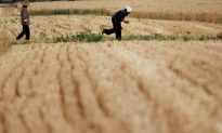 Millions of Tons of Chinese Grain Poisoned by Heavy Metals